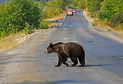 Grizzly Bear crossing road in Glacier National Park.