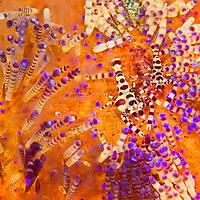 Alberto Carrera, Coleman Shrimp, Periclimenes colemani, Sea Urchin, Variable Fire Urchin, Asthenosoma varium, Lembeh, North Sulawesi, Indonesia, Asia