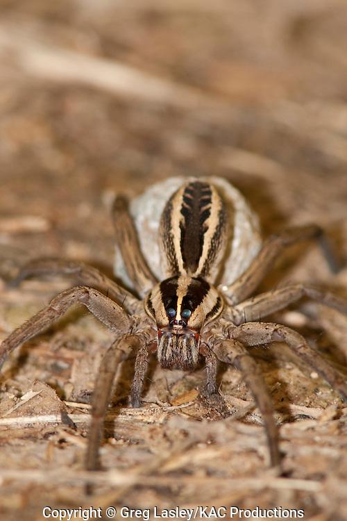 Wolf Spider.family Lycosidae.genus either Pardosa, Hogna or Rabidosa.female with egg sack.Hornsby Bend,.Austin, Travis Co., Texas.25 November 2009