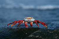 Ecuador Galapagos Islands Sally Lightfoot Crab on rock close up