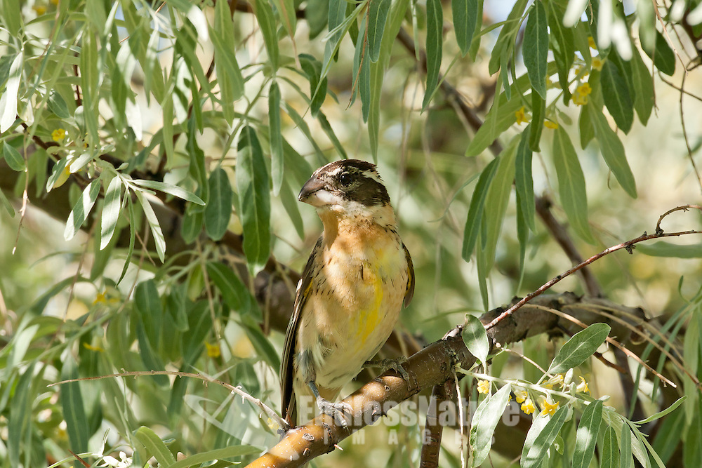 Black Headed Grosbeak has just left the nest it is building in this willow tree resting for a moment before it starts bringing back leaves it is using to line its nest.