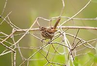 A July Song Sparrow perched in the branches of a dead willow along a rivers edge.