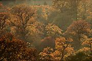 English oak tree (Quercus robur) woodland in autumn colours, Reinhardswald, Hesse, Germany | Alter Eichenbestand im Reinhardswald. Im Herst färben sich die Blätter rot-braun.