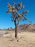 A single Joshua tree in Joshua Tree National Park. California USA.