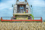 Nederland, Millingen, 7-8-2017Een veld met tarwe, graan wordt door een combine geoogst. Tarweveld, graanveld.Foto: Flip Franssen