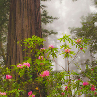 Rhododendrons in bloom in a redwood forest, Redwoods National Park, California.