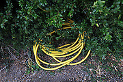 rolled up garden hose laying on the ground halve hiding under a green bush