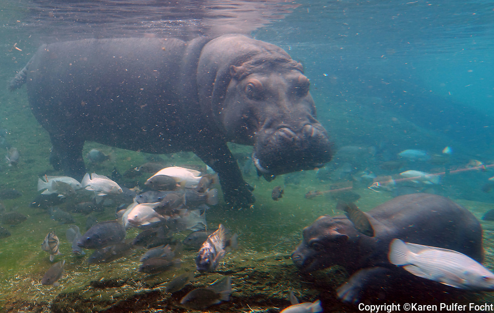 """Winnie and her mom, Binti are on exhibit at the Memphis Zoo. Winnie was born on March 23, 2017. Winnie weighed 76 pounds at birth. Her father is first for father, """"Uzazi."""""""