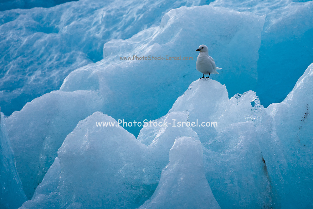 Ivory gull (Pagophila eburnea) stands on ice, Spitsbergen, Svalbard, Norway. July. A medium-sized gull particularly noted for its striking pure white adult plumage. The species survives year-round in the High Arctic where it breeds in small, often inland, colonies scattered across barren regions of the eastern Canadian Arctic, Greenland, Svalbard (Norway). The ivory gull is globally rare