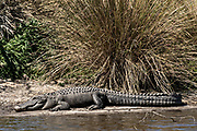 A very large American alligators basks on a riverbank at the Donnelley Wildlife Management Area March 11, 2017 in Green Pond, South Carolina. The preserve is part of the larger ACE Basin nature refugee, one of the largest undeveloped estuaries along the Atlantic Coast of the United States.