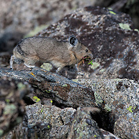 Pika carrying food to its hay plie on the Beartooth Plateau, Wyoming.