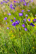 Alpine bellflower wildflower, Campanula scheuchzeri, in meadow in the Swiss Alps near Zermatt, Switzerland