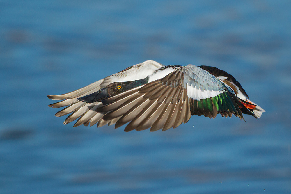 Stock Photo of Northern Shoveler captured in Colorado.  Their spoon-shaped bill contain lamella, which help strain food from the water.