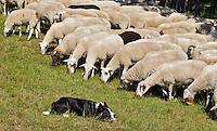 ZANDVOORT - De Kennemer Golf & Countryclub heeft in de strijd tegen de prunussen de hulp ingeroepen van een grote kudde schapen.De 350 Schoonderbeek schapen grazen op vooraf bepaalde stukken langs de fairway. Herder Henry Hoyting zorgt er met zijn honden voor dat de schapen niet over de fairway of greens lopen. De Kennemer wil op deze manier op een natuurvriendelijke manier de vergrassing en de prunussen terugdringen .COPYRIGHT KOEN SUYK
