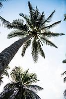 Palm trees growing on the East African coastline, Mombasa, Kenya