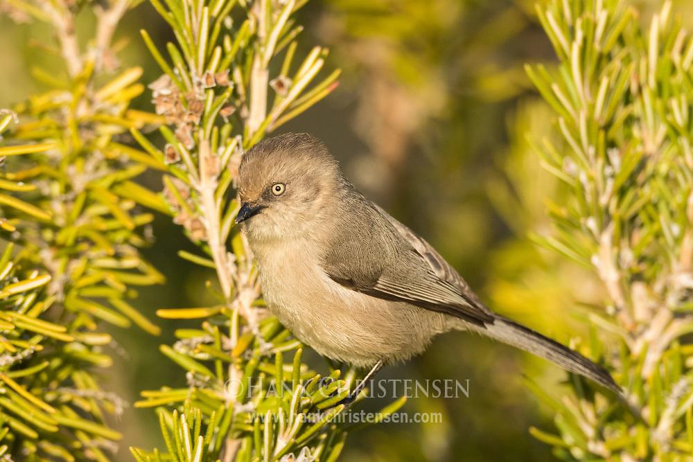 A tiny bushtit perches briefly on an ornamental bush, Redwood Shores, CA.
