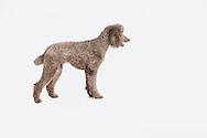Brown Standard Poodle standing on a white background in profile
