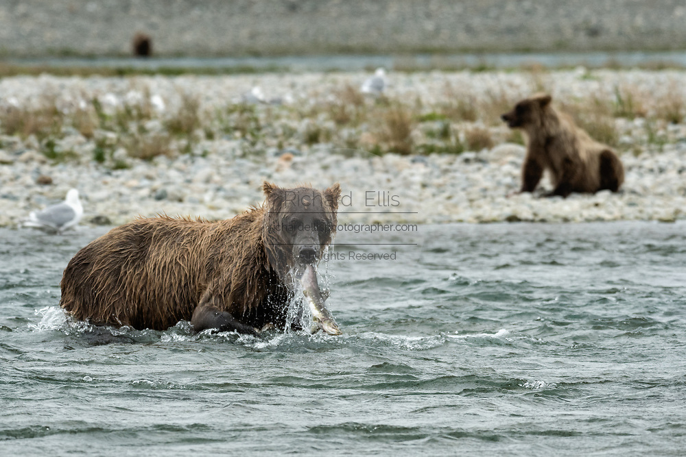A brown bear sow catches chum salmon as her yearling cub waits on the beach at the McNeil River State Game Sanctuary on the Kenai Peninsula, Alaska. The remote site is accessed only with a special permit and is the world's largest seasonal population of brown bears in their natural environment.