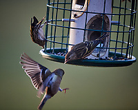 Sparrows (?) at the Bird Feeder. Image taken with a Nikon D5 camera and 600 mm f/4 VR lens (ISO 1100, 600 mm, f/4, 1/640 sec).