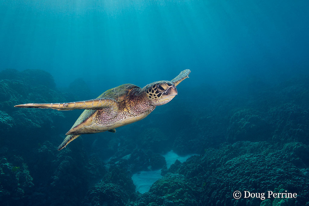 green sea turtle or honu, Chelonia mydas, swimming over coral reef, Honaunau, Kona, Hawaii ( Central Pacific Ocean )