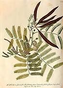 Coloured Copperplate engraving of an Acacia Tree from hortus nitidissimus by Christoph Jakob Trew (Nuremberg 1750-1792)