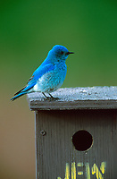 Mountain Bluebird (Sialia currucoides) perched on a nest box near Calgary, Alberta, Canada