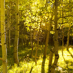 Forest of Aspen trees in the Sierra Nevada Mountains.