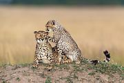 Mother cheetah and her cub.  Maasai Mara, Kenya.