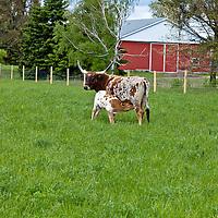 Texas Longhorn cattle and their nursing calves in long green grass.
