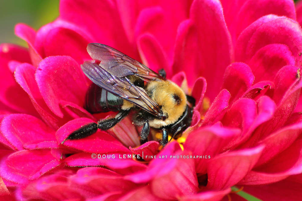 A Carpenter Bee Nectaring On A Pink Flower, Xylocopa micans