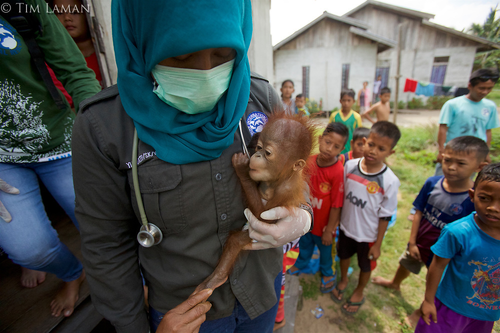 """""""Rescue"""" of a five month old male baby orangutan from captivity in Sungai Besar village by the BKSDA (Department of Wildlife and Nature Conservation) staff and wildlife veteranarian Dr. Ayu from International Animal Rescue."""