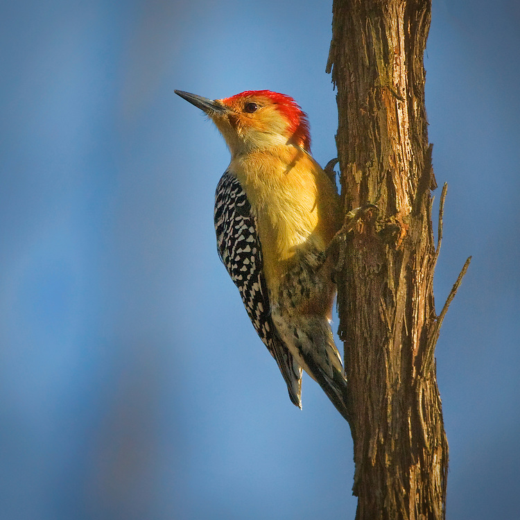 Male Red-bellied woodpecker (Melanerpes carolinus) clinging on a tree.