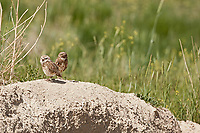 A pair of adult burrowing Owls stands outside their burrow taking a break before returning underground to tend to their nest.