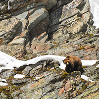 grizzly bear on rocks
