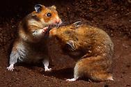 Deutschland, DEU, Cuxhaven: Weiblicher Goldhamster (Mesocricetus auratus) links bei der Abwehr eines Männchens. | Germany, DEU, Cuxhaven: Golden Hamster (Mesocricetus auratus), female on the left discouraging male on the right. |