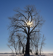 Cottonwood at sunrise in winter during polar vortex.<br /> <br /> Manitoba<br /> Canada