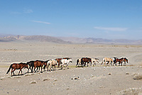 Mongolie. Province de Khovd. Troupeau de chevaux. // Mongolia. Khovd province. Horses drove.