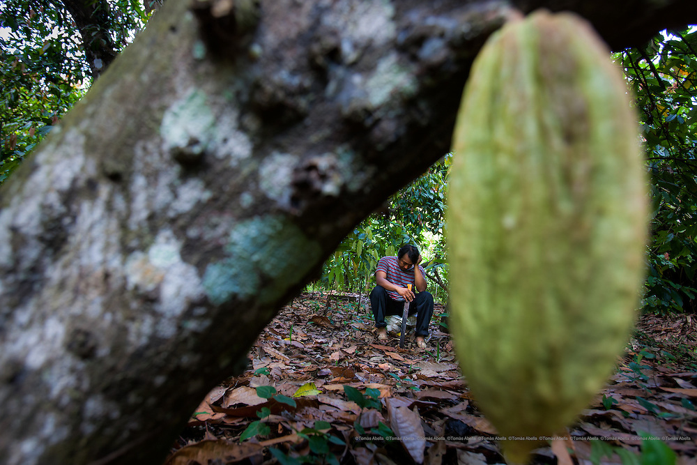 Infection by Monilia. This fungus rots the cocoa pod and was responsible for a loss of 60% of the cocoa production in 2007, 2008 and 2011. Tapachula. Mexico.