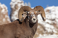 Impervious to the frigid temperatures, an ice-covered bighorn ram forages in the deep snow.  With their thick winter coats, bighorns are one of the few animals that are able to thrive during Wyoming's long winter.