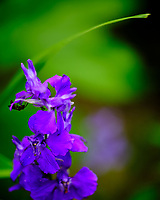 Larkspur Flower. Image taken with a Fuji X-H1 camera and 80 mm f/2.8 macro lens + 1.4x teleconverter