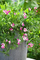 Lathyrus odoratus 'Cupid Pink' in a galvanised metal container. Sweet pea