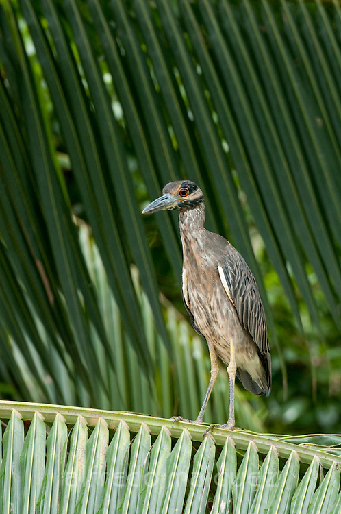 Yellow-crowned Night-Heron (Nyctanassa violace) perched on palm leaves in Isla Pacheca forest. Las Perlas Archipelago, Panama province, Panama, Central America.
