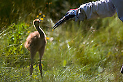Staff at the International Crane Foundation raise Whooping Crane's in costume so that there will be no human imprint before their release during the 2013 Direct Autumn Release, (D.A.R)., Whooping Crane reintroduction program at the International Crane Foundation, In Baraboo, WI.  Direct Autumn Release, D.A.R., Whooping Crane reintroduction program at the International Crane Foundation, ICF.