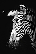 Portrait of zebra in black and white on black background.