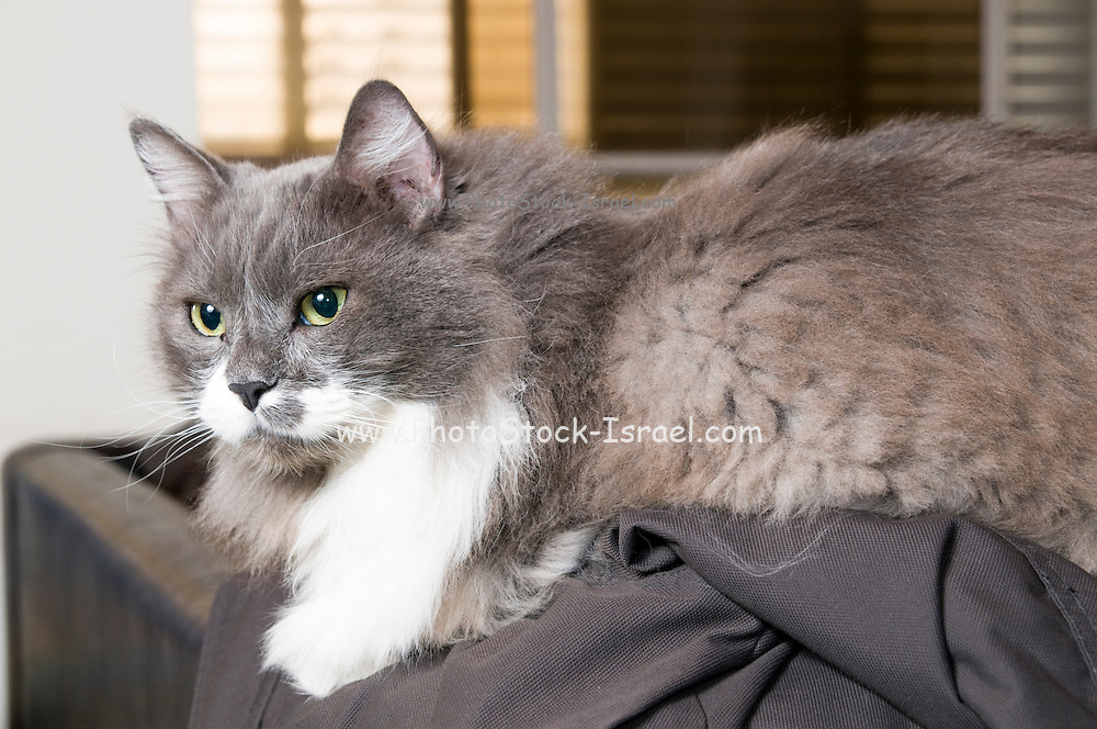 Grey and white Persian Cat with green eyes