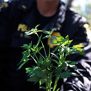 "The national forests in California and across the nation are increasingly being used to grow marijuana. The clandestine grows are shielded by tree canopies and are often close to, if not actually inside, recreational usage areas so that the growers can appear to be normal recreational users. A task force comprised of Sheriff deputies, US Forest Service Agents and Dept. of Justice agents raided a grow in the Tahoe National Forest that yielded 5000 plants in the 2""-12"" range and arrested one Mexican national who was tending the grow. A California DOJ agent shows some of the confiscated pot plants."