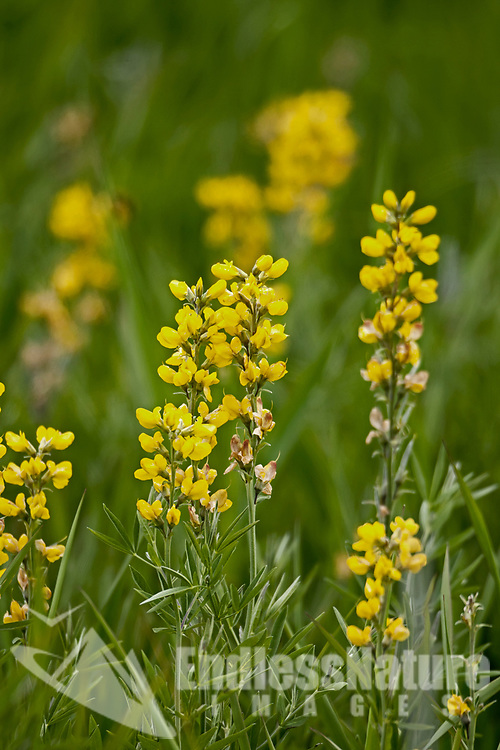 Winter Cress is a long stem yellow wildflower that can be found in June in the western states.