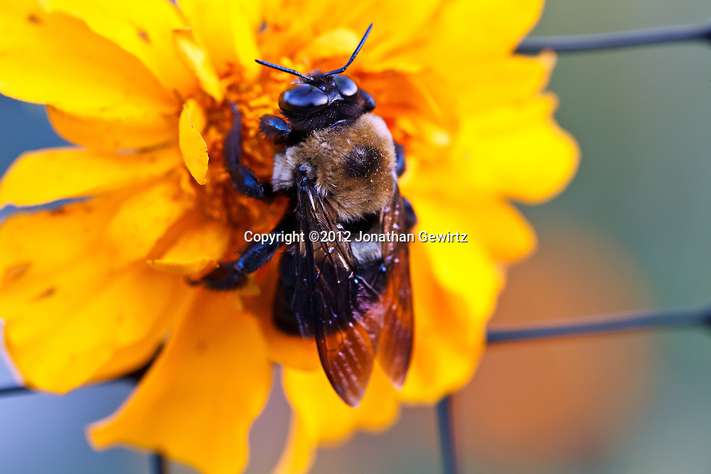 Closeup view of a bumble bee (Bombus) gathering nectar on a bright yellow flower. WATERMARKS WILL NOT APPEAR ON PRINTS OR LICENSED IMAGES.