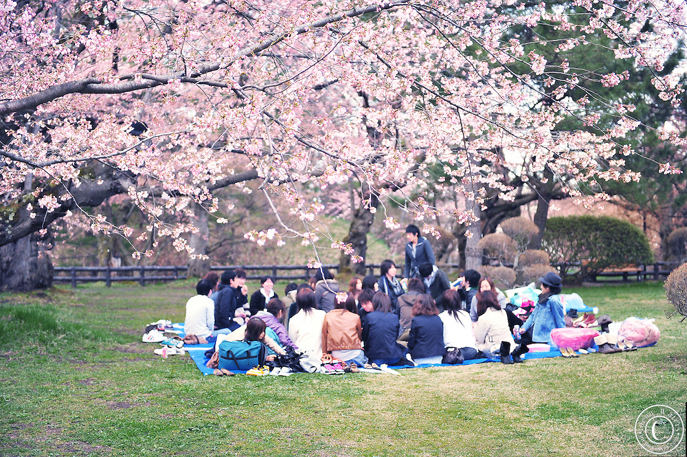 Hirosaki Castle Japan.Japanese people hold cherry blossom parties in the park. They eat, drink and enjoy the wonders of nature.<br /> Northern Honshu, Japan. Over 3,000 cherry trees come into bloom from mid April to early May.