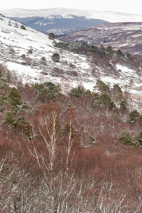 Silver birches and Scot's Pine in late winter after light snow with heather moorland in background, Aberdenshire, Scotland